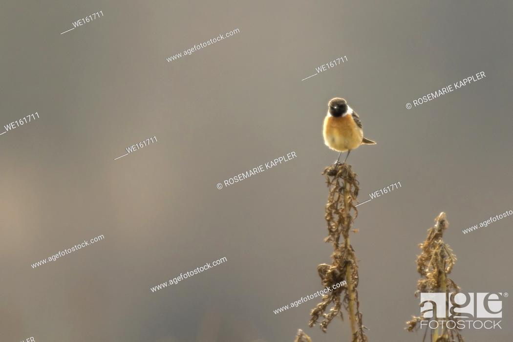 Stock Photo: Germany, Saarland, Homburg - A stonechat on his vantage point.