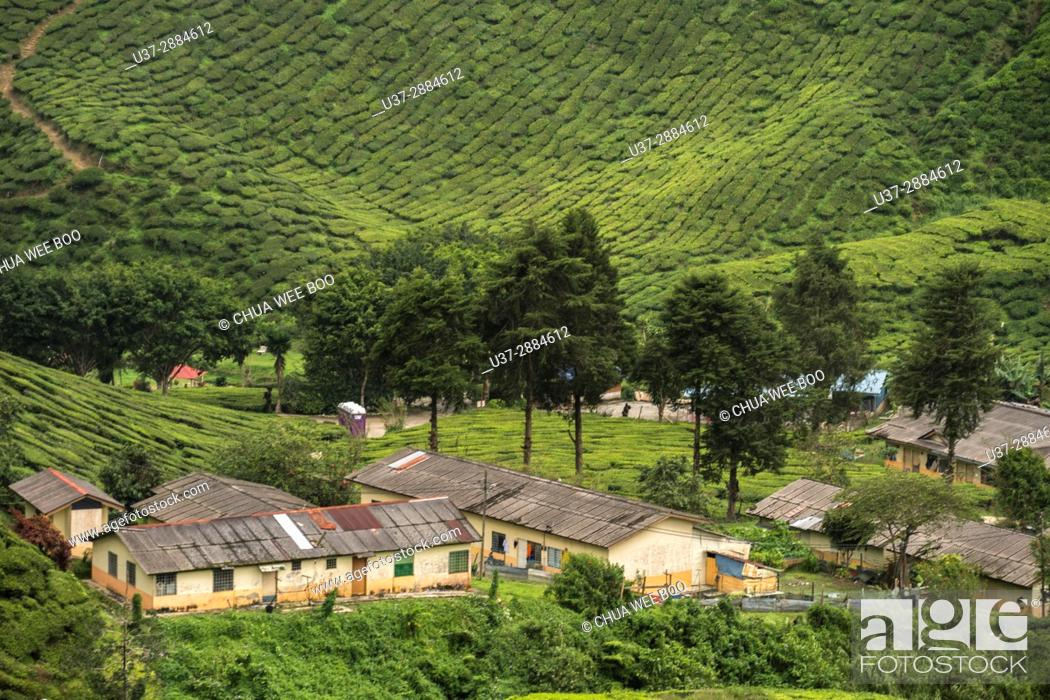 Stock Photo: Tea plantation on green hills, Cameron Highland, Pahang, Malaysia.