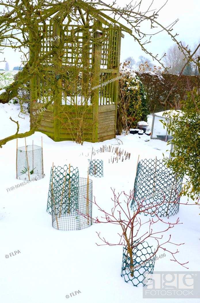 Stock Photo: Snow covered garden with gazebo and wire netting protecting overwintering shrubs, Norfolk, England, february.