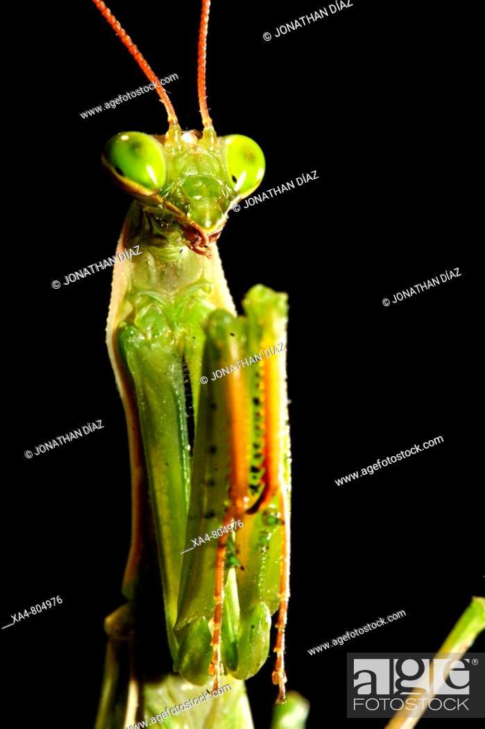 Stock Photo: Praying Mantis (Mantis religiosa). Barcelona, Catalonia, Spain.