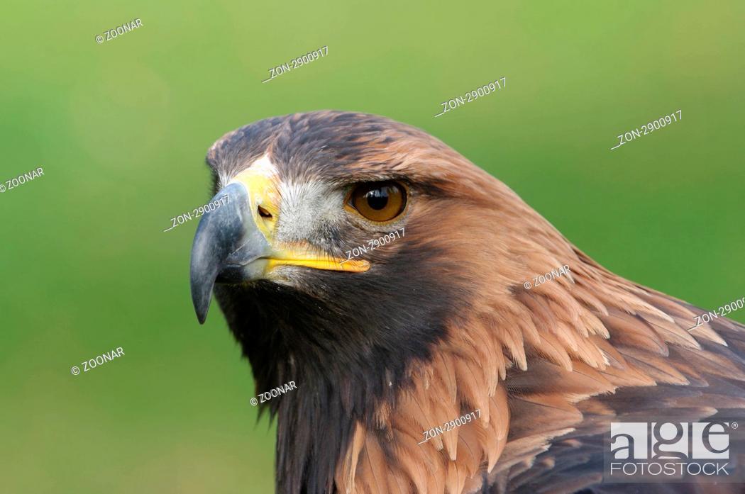 Stock Photo: Steinadler, Golden Eagle, Aquila chrysaetos.