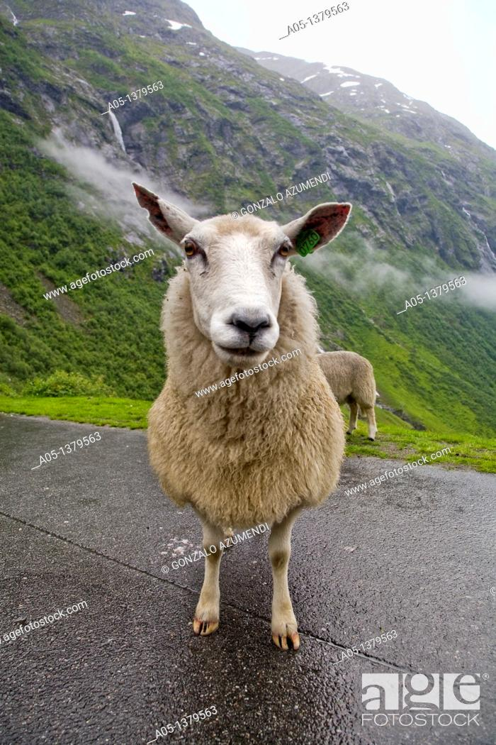 Stock Photo: Sheep  Videseter area  Sogn and Fjordane  Norway.