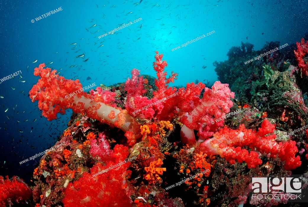 Stock Photo: Coloured Soft Corals, Similan Islands, Thailand.