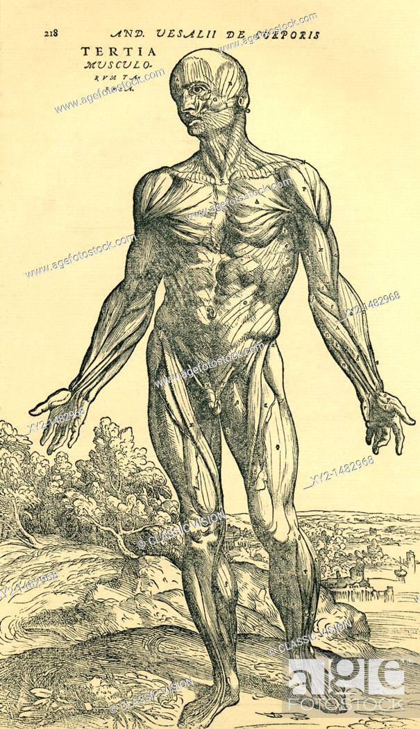 Front Of Male Human Body Anatomical Study Originally Published In De