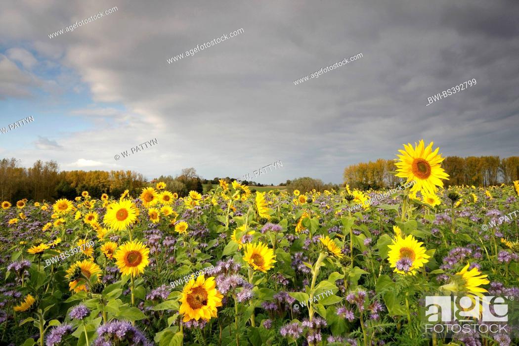 Stock Photo: common sunflower (Helianthus annuus), sunflower field with Phacelia, Belgium.