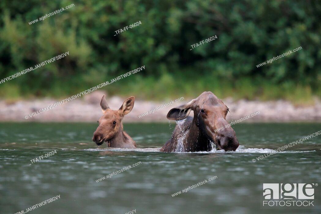 Stock Photo: mooses.