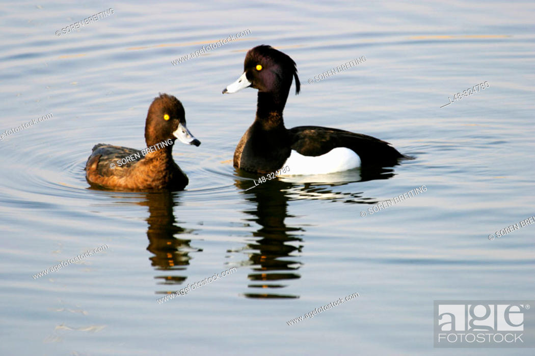 Stock Photo: A pair of Tufted Duck (Aythya fuligula), male courting female before mating, in lake in Denmark.