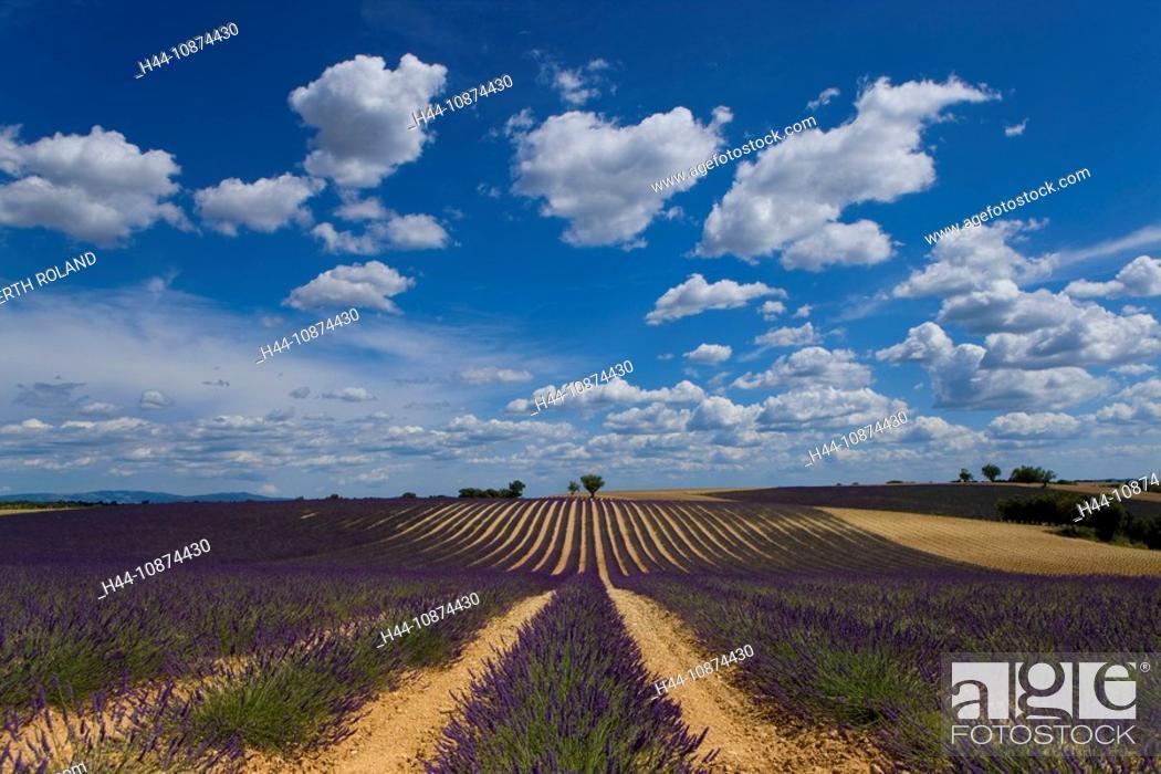 Stock Photo: Valensole, France, Provence, Alpes-de-Haute-Provence, lavender field, lavender rows, lavenders, trees, clouds.