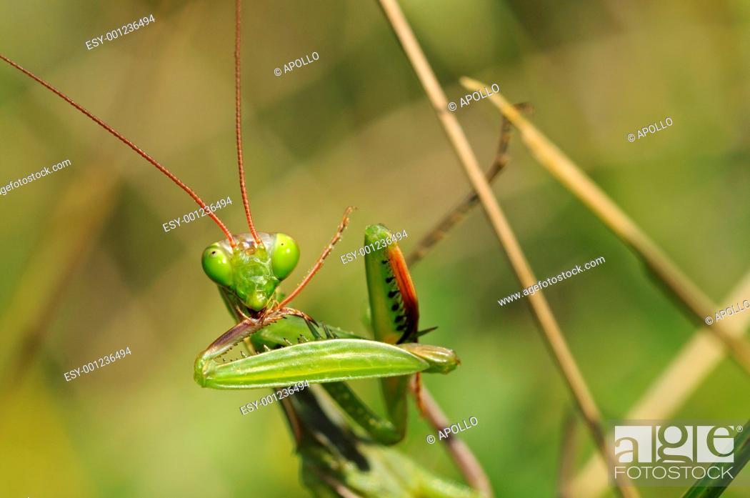 Stock Photo: European Mantis or Praying mantis Mantis religiosa, Alsace, France.