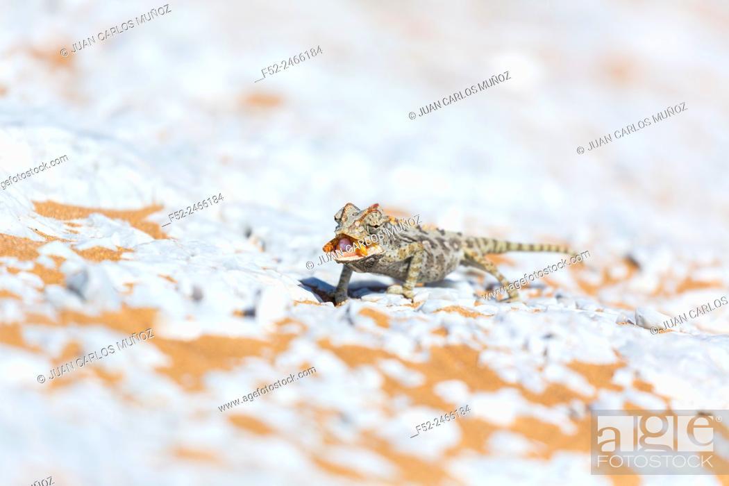 Stock Photo: Namaqua chameleon, Chamaeleo namaquensis. Sand Dunes, Swakopmund, Erongo, Namibia, Africa.