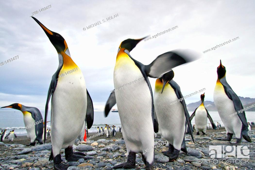 Stock Photo: King penguin Aptenodytes patagonicus breeding and nesting colony at St  Andrews Bay on South Georgia, Southern Ocean  MORE INFO The king penguin is the second.