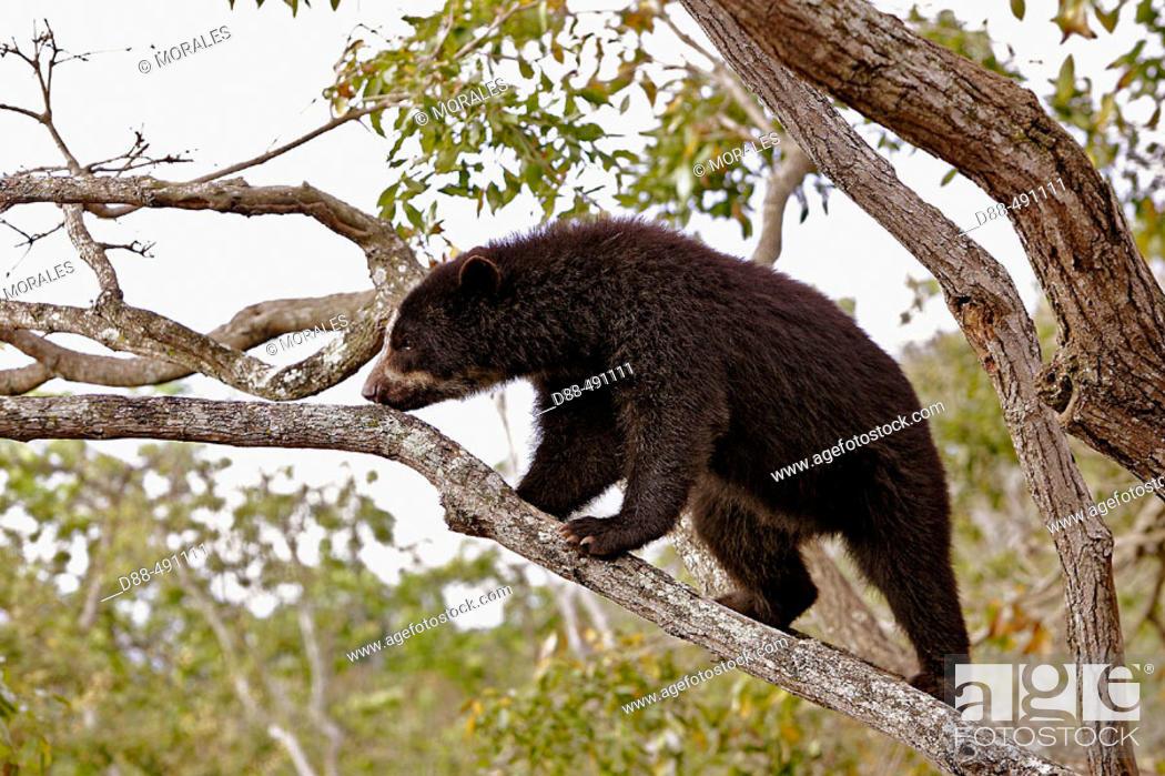 Stock Photo: Spectacled Bear (Tremarctos ornatus). Venezuela.