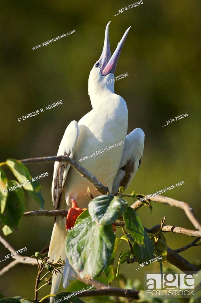 Stock Photo: Red-footed Booby Sula sula white phase  Halfmoon Caye Audubon Sanctuary, Belize.