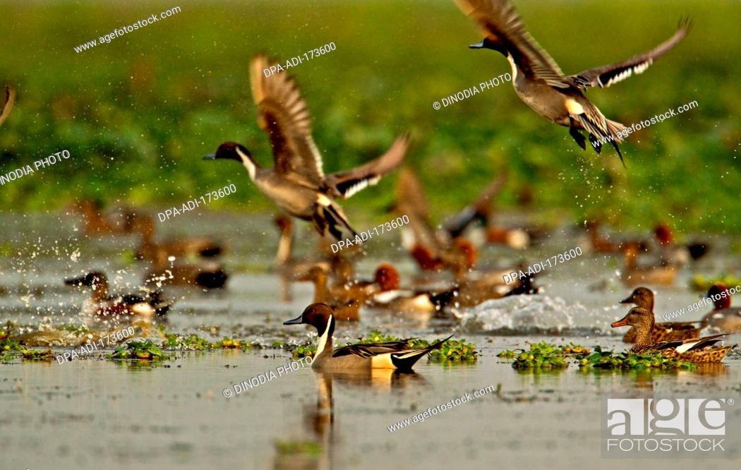 Stock Photo: Ducks flying over water , Magudi wetlands , Assam , India.