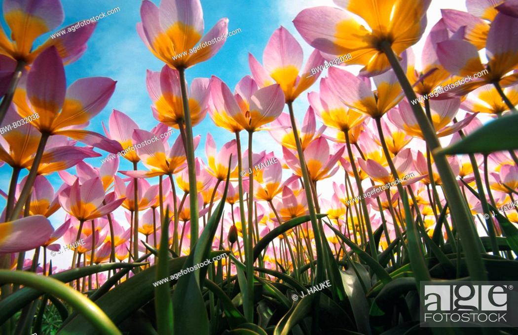 Stock Photo: common garden tulip (Tulipa gesneriana), tulip field, Netherlands.