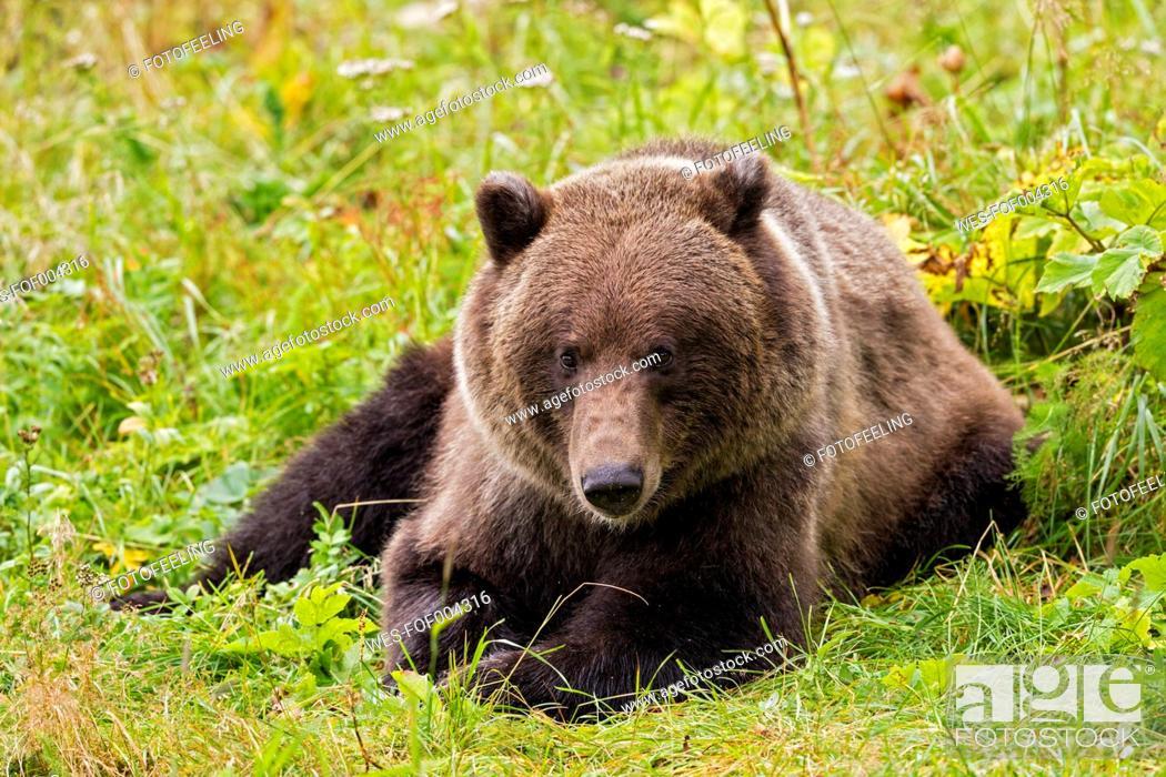 Stock Photo: USA, Alsaka, Brown bear on meadow near Chilkoot Lake.