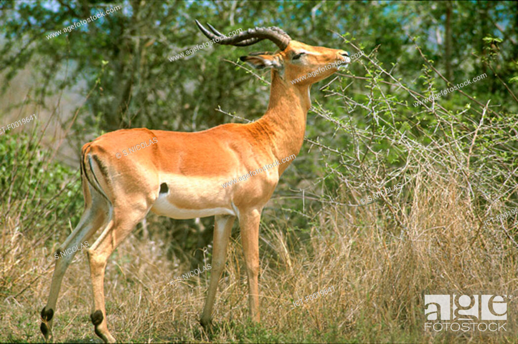 Stock Photo: South Africa, springbok.