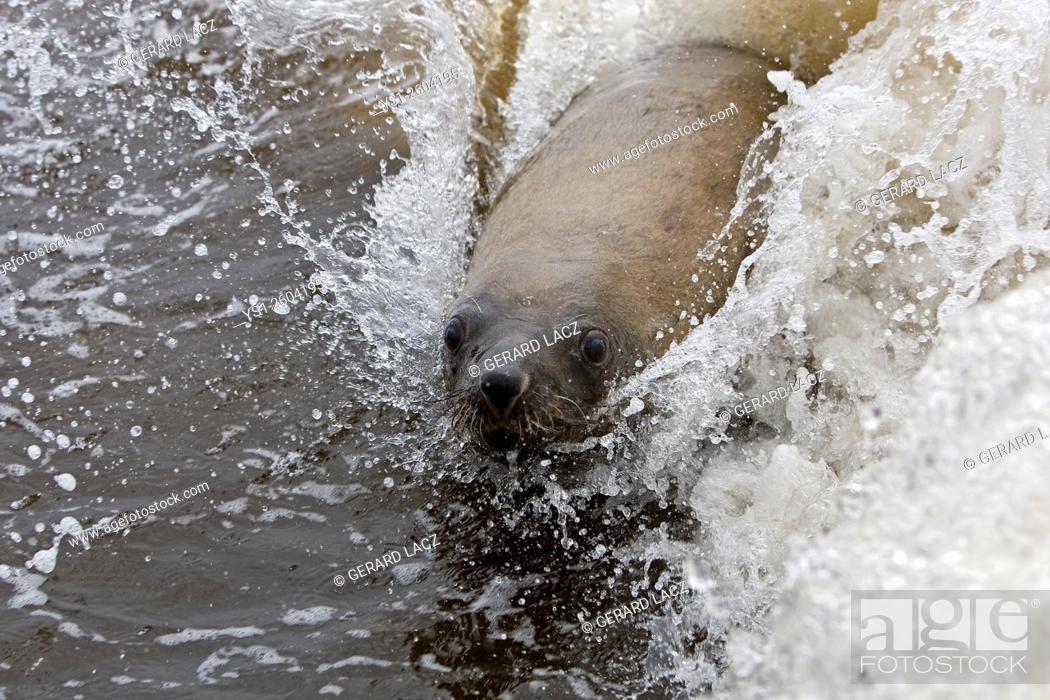 Stock Photo: South African Fur Seal, arctocephalus pusillus, Cape Cross in Namibia.