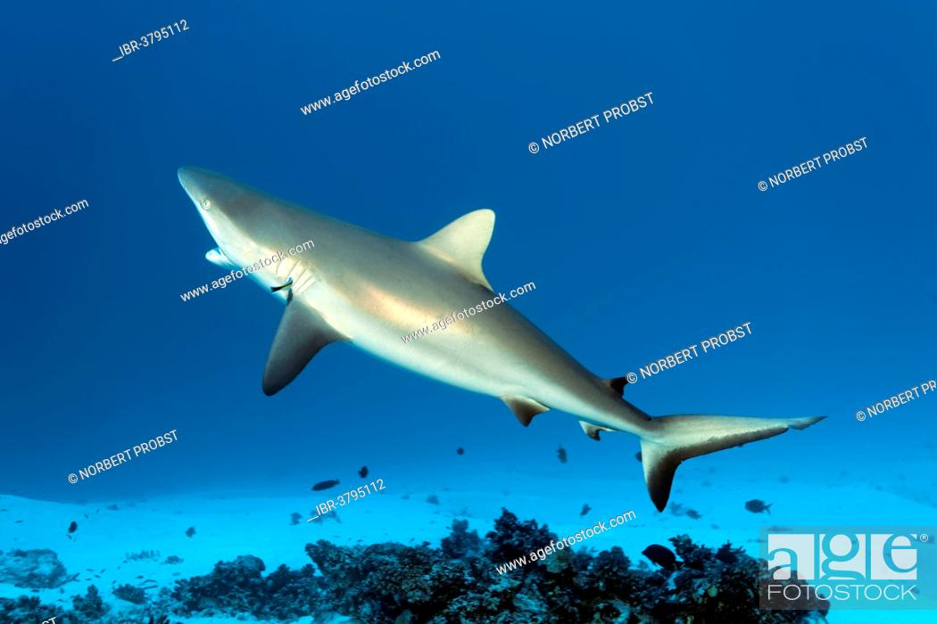 Stock Photo: Grey Reef Shark (Carcharhinus amblyrhynchos) at cleaning station with a Bluestreak Cleaner Wrasse (Labroides dimidiatus), on a sandy sea floor.