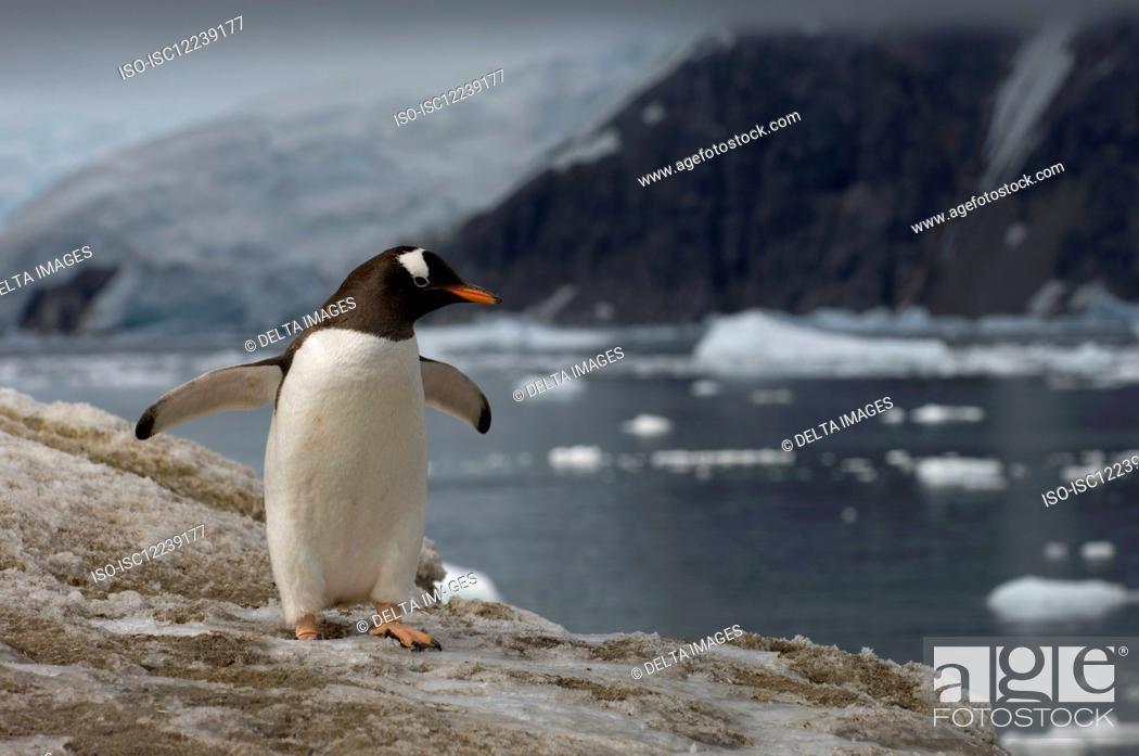 Imagen: Gentoo penguin, Neko Harbor, Gerlache strait, Antarctica, Antarctic Peninsula.