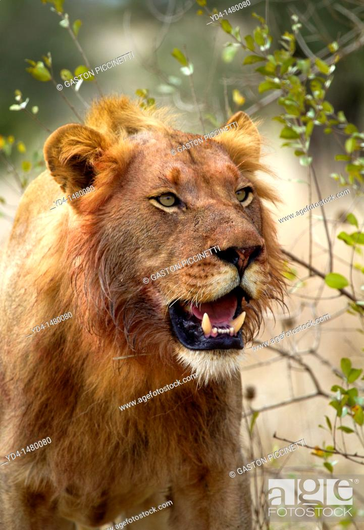 Stock Photo: African Lion Panthera leo - young male, kruger National Park, South Africa.