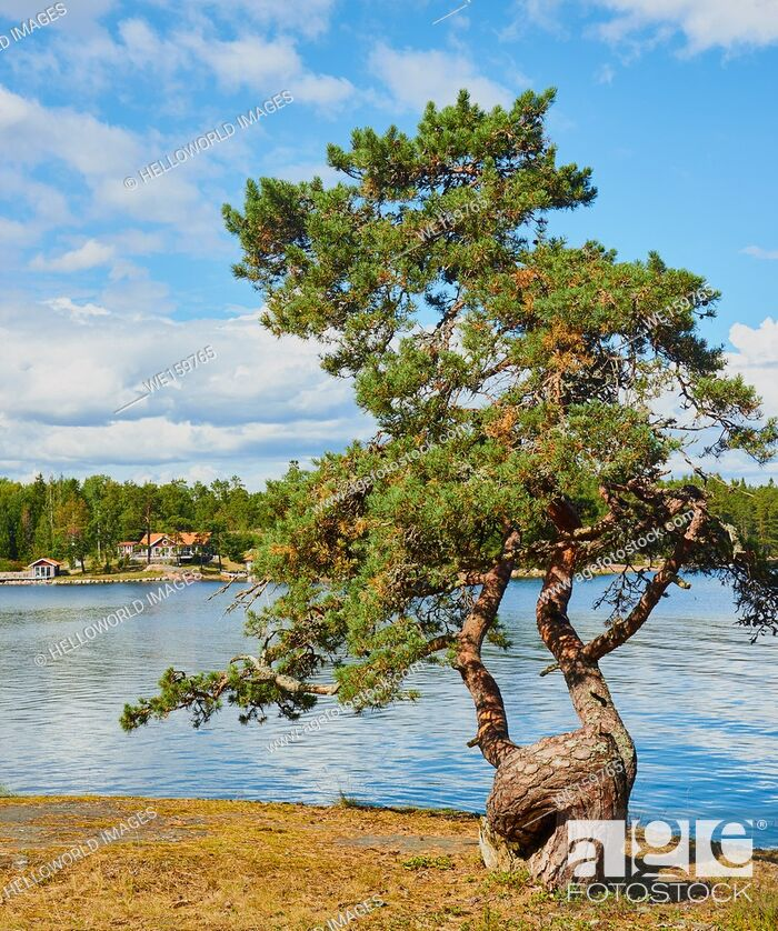Imagen: Tree with gnarled trunk in the Ostra Lagno nature reserve on the coast of Ljustero, Stockholm County, Sweden, Scandinavia.