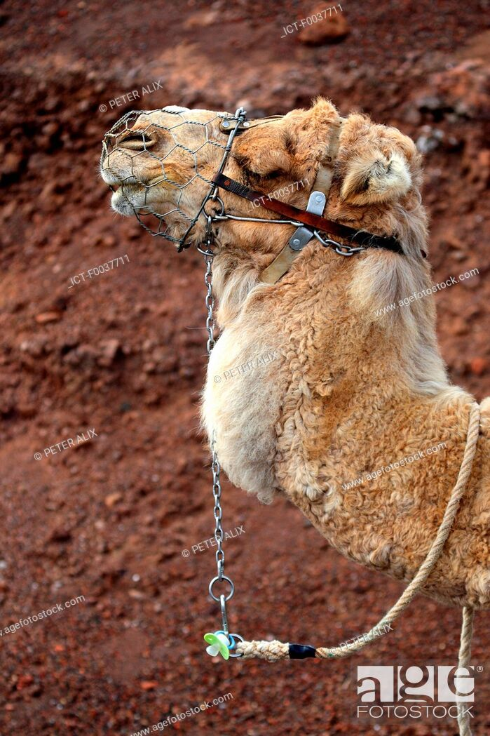 Stock Photo: Spain, Canary islands, Lanzarote, National park of Timanfaya, camels.