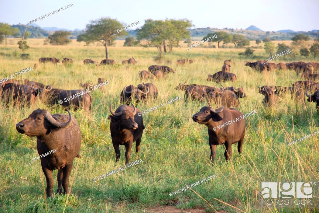 Stock Photo: Herd African buffalo, Cape buffalo, Syncerus caffer. It is peculiar to South and East Africa, weighing up to 910 kg, notably tall in size and ferocity.