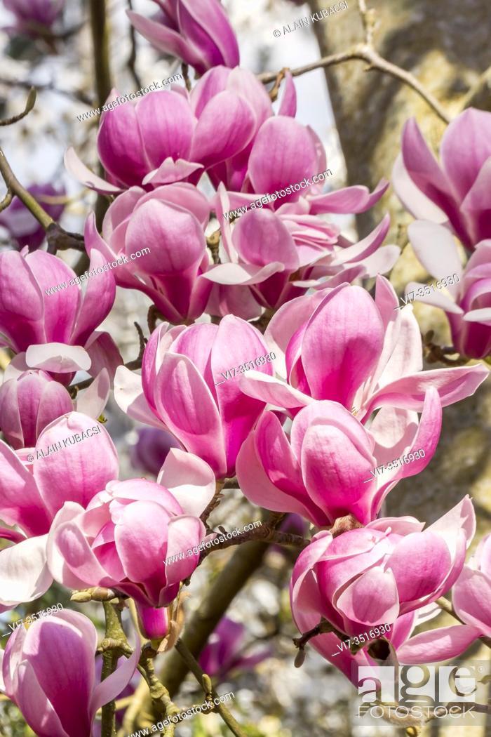 Stock Photo: Magnolia denudata 'Forrest's Pink'.