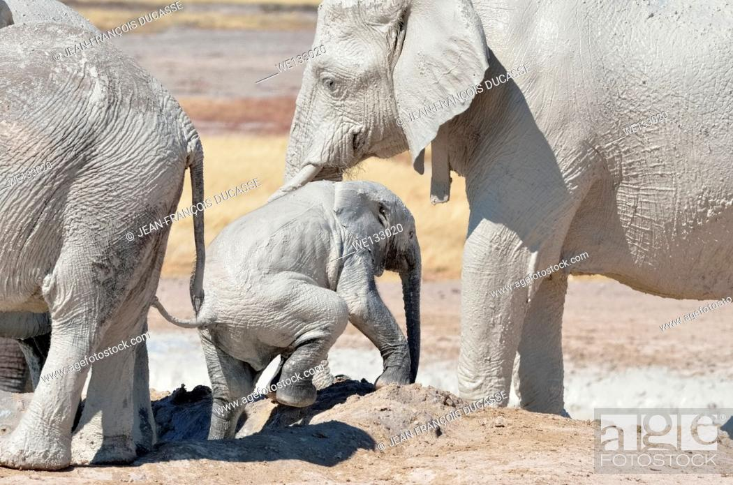 Photo de stock: African elephant baby (Loxodonta africana), covered with mud, getting out of the water, in the sight of his mother, at Newbroni waterhole, Etosha National Park.