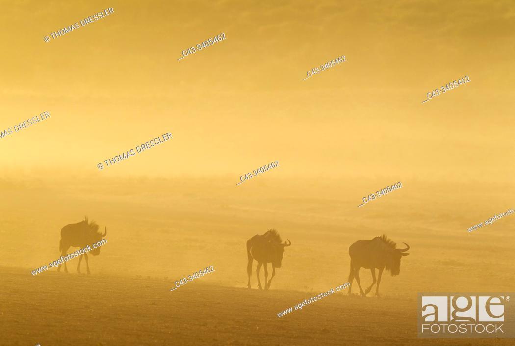 Stock Photo: Blue Wildebeest (Connochaetes taurinus). Roaming in the early morning. Kalahari Desert, Kgalagadi Transfrontier Park, South Africa.