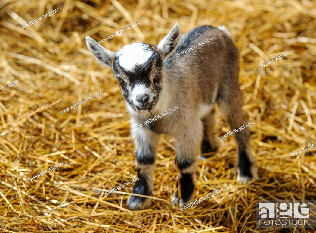 Stock Photo: Two day old pygmy goat kid born on a smallholding in South Lanarkshire, Scotland.