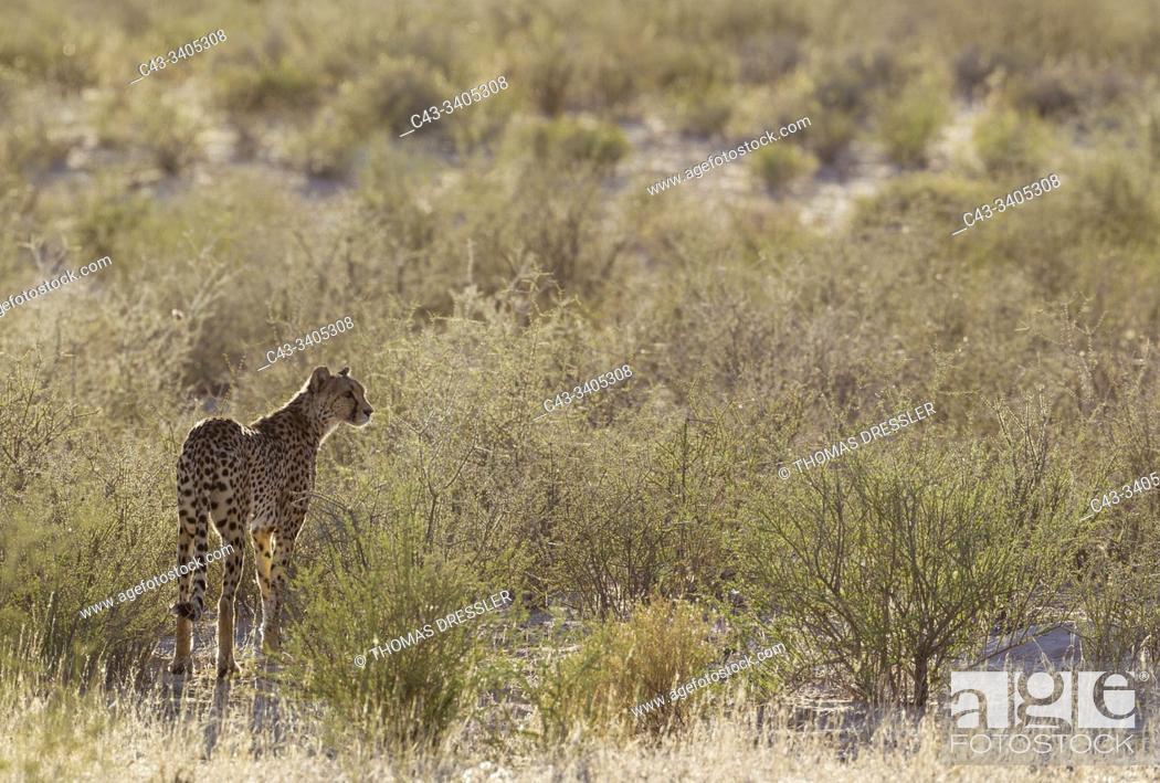 Imagen: Cheetah (Acinonyx jubatus). Female. Kalahari Desert, Kgalagadi Transfrontier Park, South Africa.