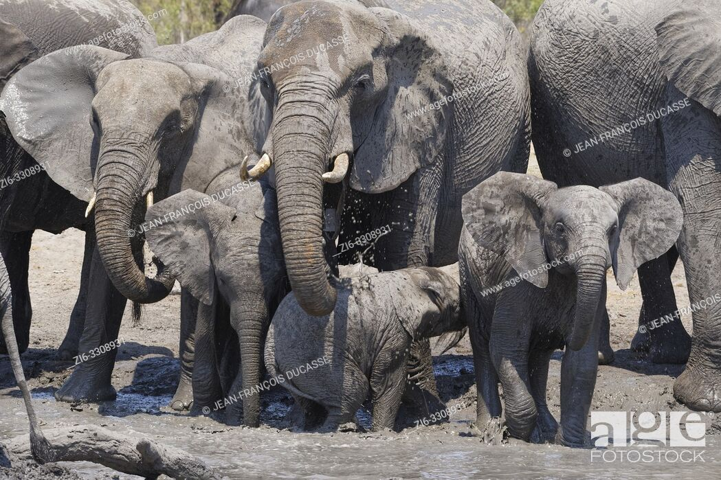 Stock Photo: African bush elephants (Loxodonta africana), herd with calves at a muddy waterhole, Kruger National Park, South Africa, Africa.