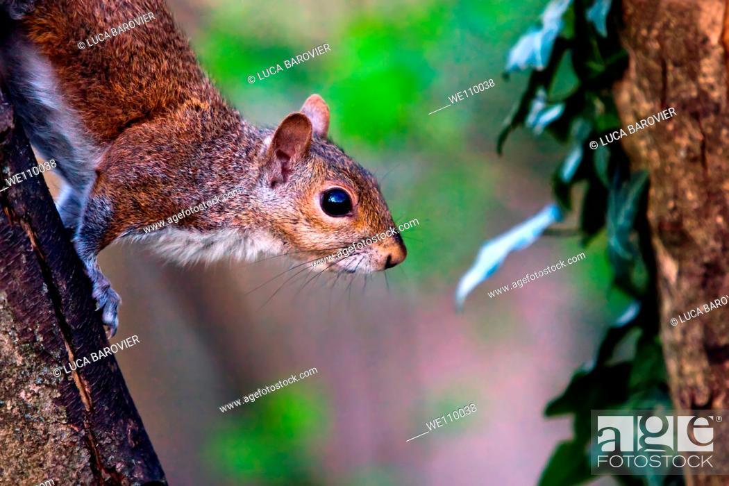 Stock Photo: Close-up of a Gray Squirrel - Arcadia Park - Bareggio, Milano Italy.