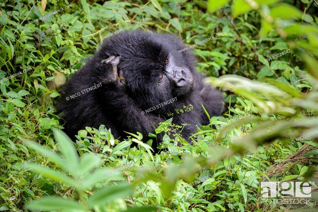 Stock Photo: Mountain Gorilla (Gorilla beringei beringei), Nyakagezi gorilla group, Mgahinga Gorilla National Park, Virunga Volcanoes, Kisoro, Uganda, Africa.
