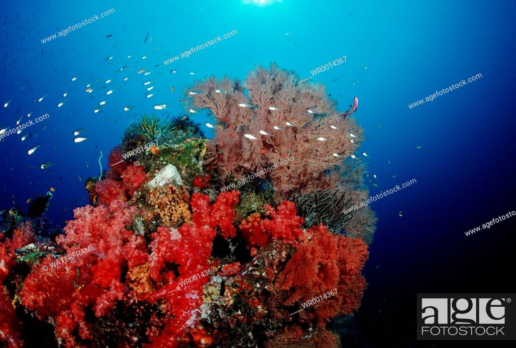 Stock Photo: Coloured Coral Reef, Similan Islands, Thailand.
