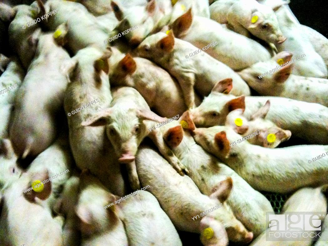 Imagen: Tilburg, Netherlands. Whole bunch of piglets and porklings gather inside their stable, just a few weeks after they were born.