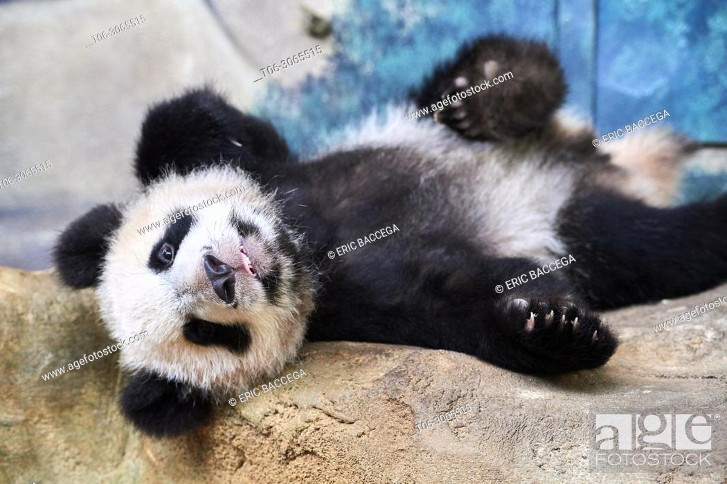 Stock Photo: Playful giant panda cub (Ailuropoda melanoleuca) upside down. Yuan Meng, first Giant panda even born in France, now aged 10 months, Beauval Zoo, France.