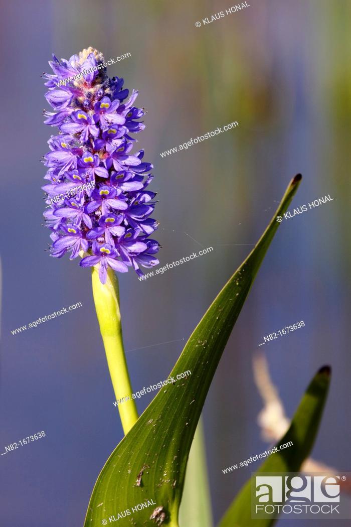 Stock Photo: Pickerel weed Pontederia cordata blooming in garden pond - Bavaria/Germany.
