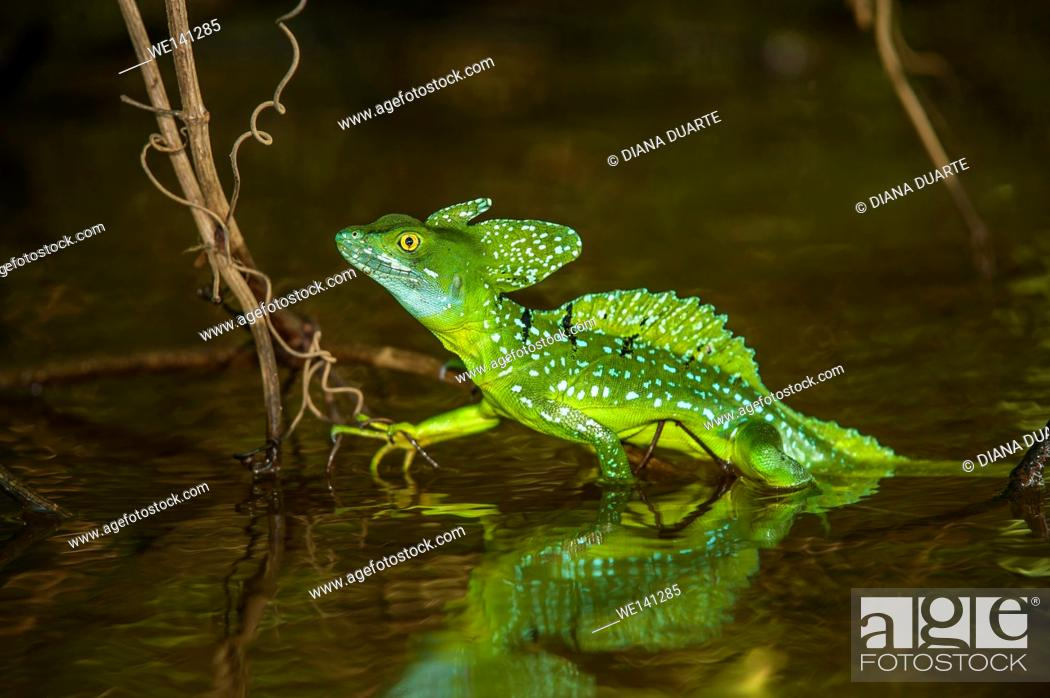 "Stock Photo: """"""""""Basiliscus"""" (Basiliscus plumifrons), The lizard runs on only its hind legs in an erect position, holding its arms to its sides."