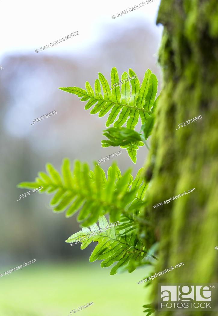 Photo de stock: Ferns in the forest of Ferreria La Iseca, in the municipality of Guriezo in the province of Cantabria, Spain, Europe.