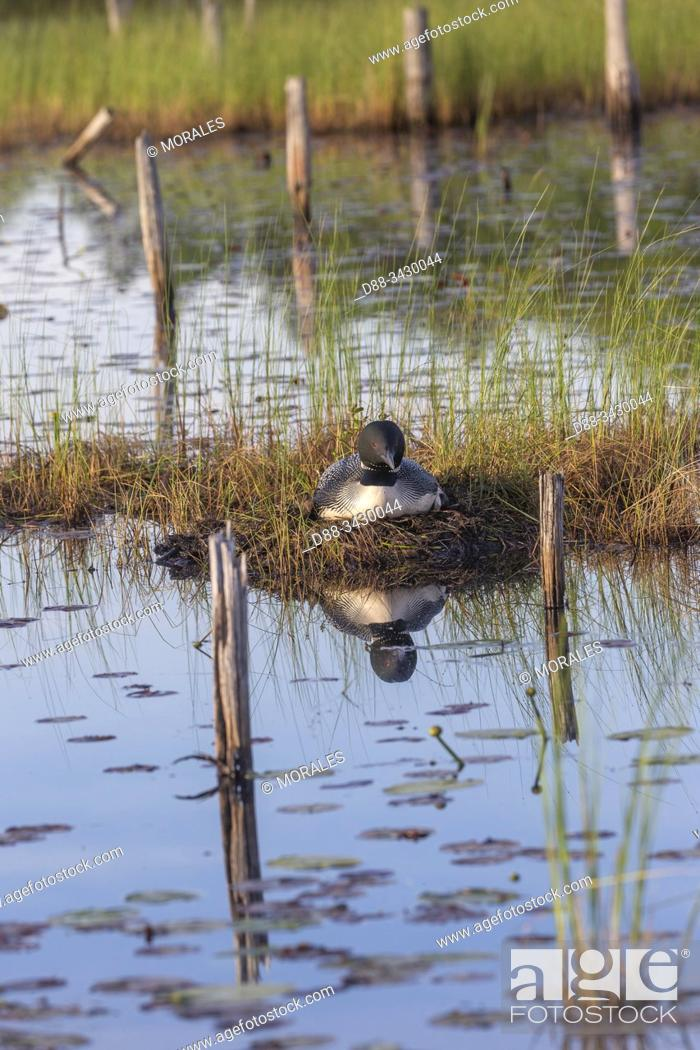 Stock Photo: United States, Michigan, Common Loon (Gavia immer), nest on a lake.