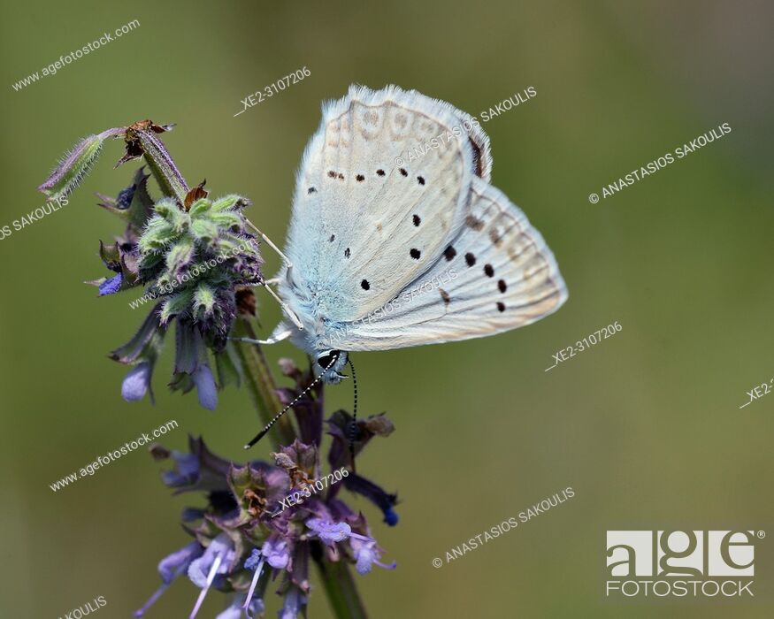 Stock Photo: Meleageria daphnis - Meleager's Blue, Greece.