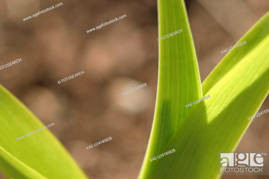 Stock Photo: vegetation, wild, yield, fleshy, organic, foliage.