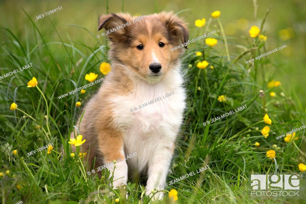 Dog Shetland Sheepdog Miniature