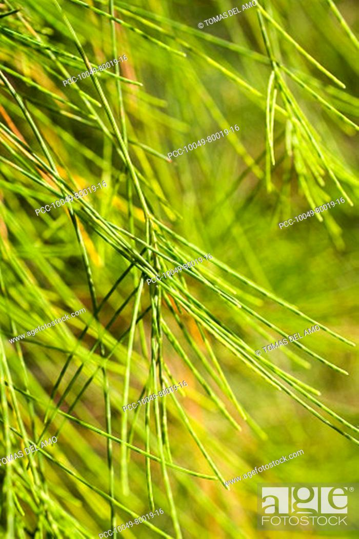 Stock Photo: Close-up of a green bushy plant with needle-like leaves.