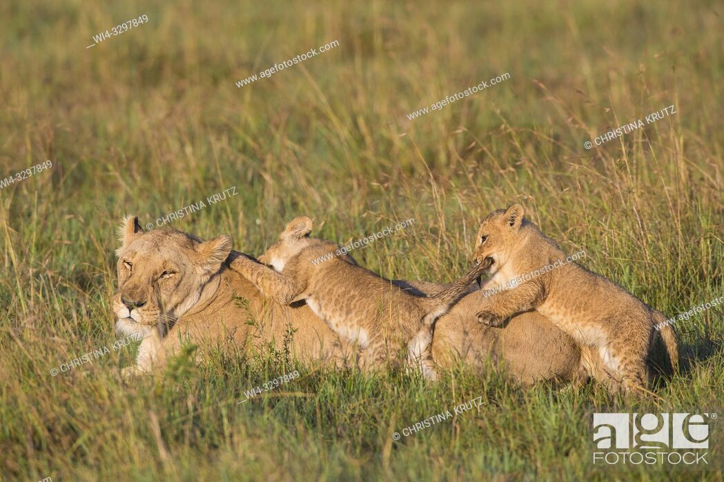 Stock Photo: African Lion (Panthera leo) female with two cubs, Maasai Mara National Reserve, Kenya, Africa.