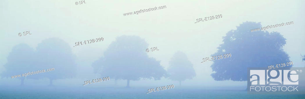 Stock Photo: Trees in mist. Photographed in Dorset, England.