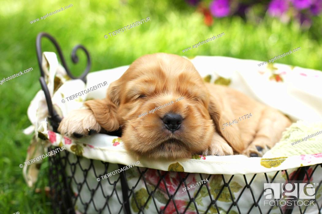 Stock Photo: English Cocker Spaniel Puppy.